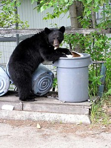bear in trash
